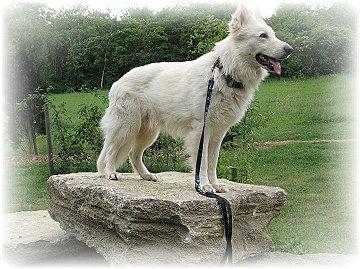 Weisser Schäferhund Bendor-Duke of Westminster