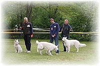 Weisse Schäferhunde bei der Ausbildung